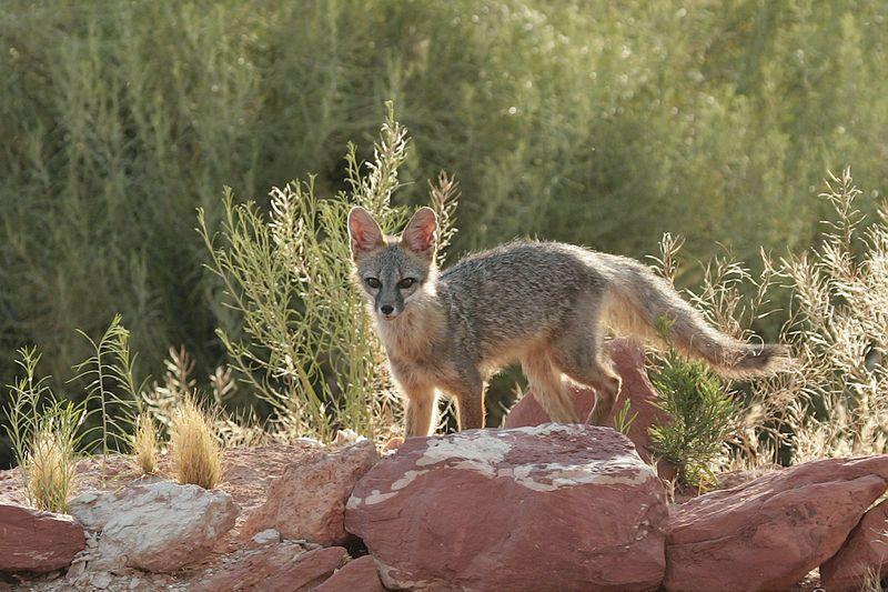 Kit Fox | Vulpes macrotis photo
