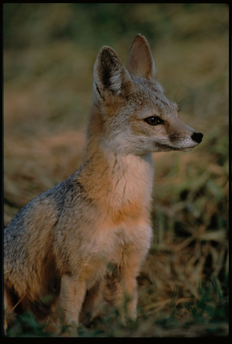 Kit Fox | Vulpes macrotis photo