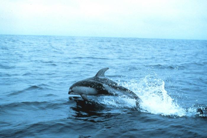 Pacific White-sided Dolphin | Lagenorhynchus obliquidens photo