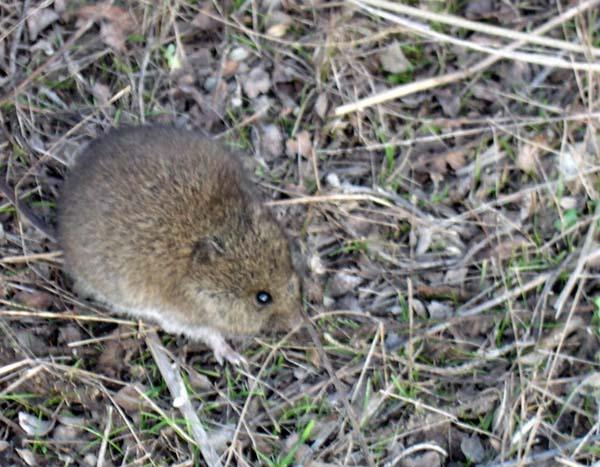 Western Harvest Mouse | Reithrodontomys megalotis photo