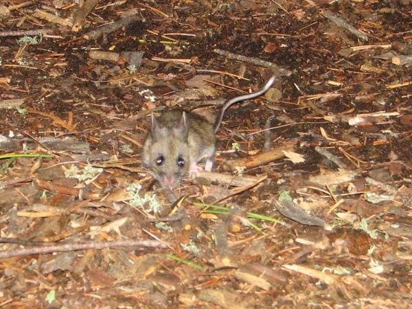 White-footed Mouse | Peromyscus leucopus photo