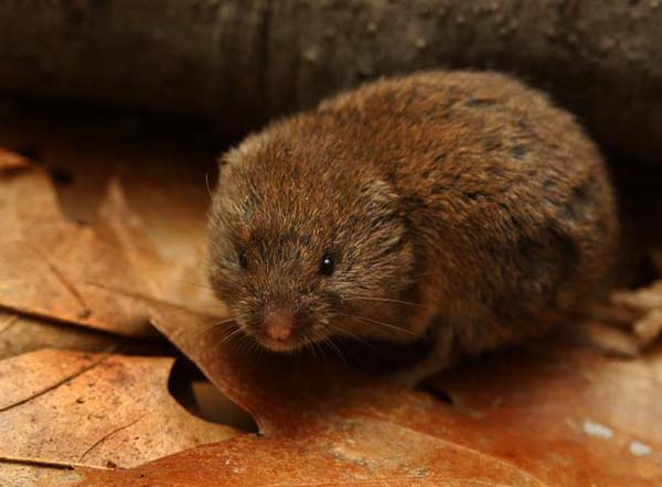 Woodland Vole | Microtus pinetorum photo