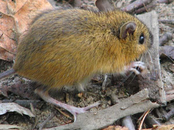 Woodland Jumping Mouse   Napaeozapus insignis photo