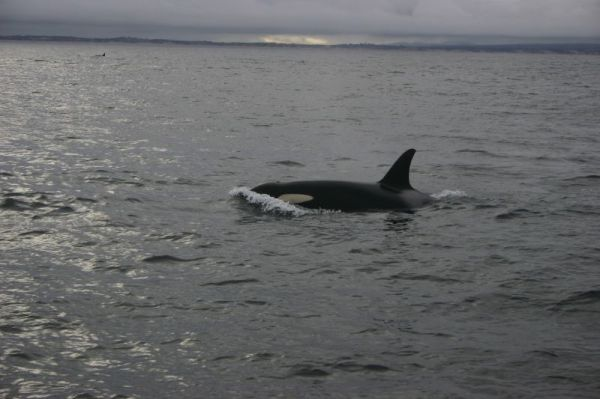 Killer Whale   Orcinus orca photo
