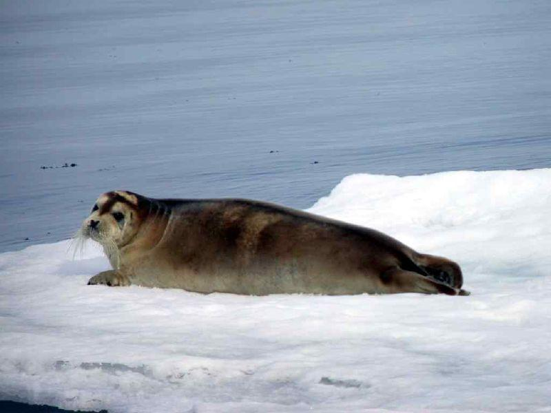 Bearded Seal | Erignathus barbatus photo