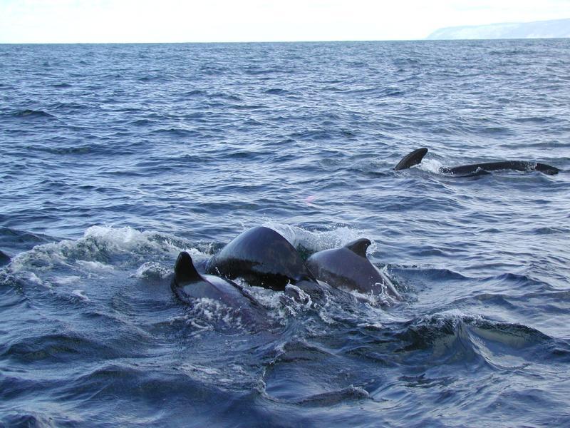 Long-finned Pilot Whale | Globicephala melas photo