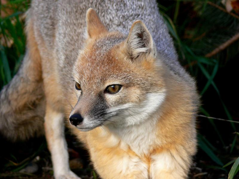 Swift Fox | Vulpes velox photo