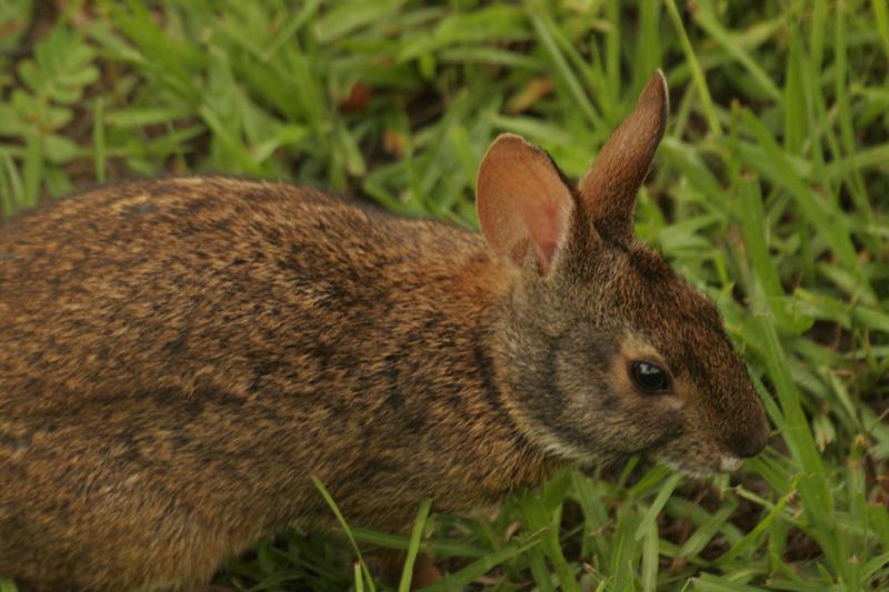 Marsh Rabbit | Sylvilagus palustris photo