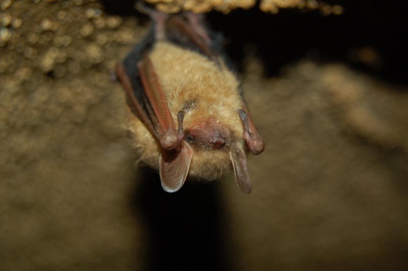 Tri-colored Bat | Pipistrellus subflavus photo