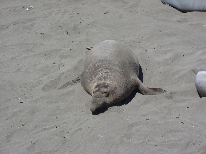 Northern Elephant Seal | Mirounga angustirostris photo