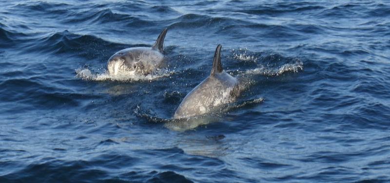Risso's Dolphin   Grampus griseus photo