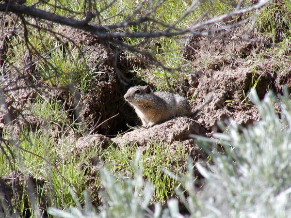 Idaho Ground Squirrel | Spermophilus brunneus photo