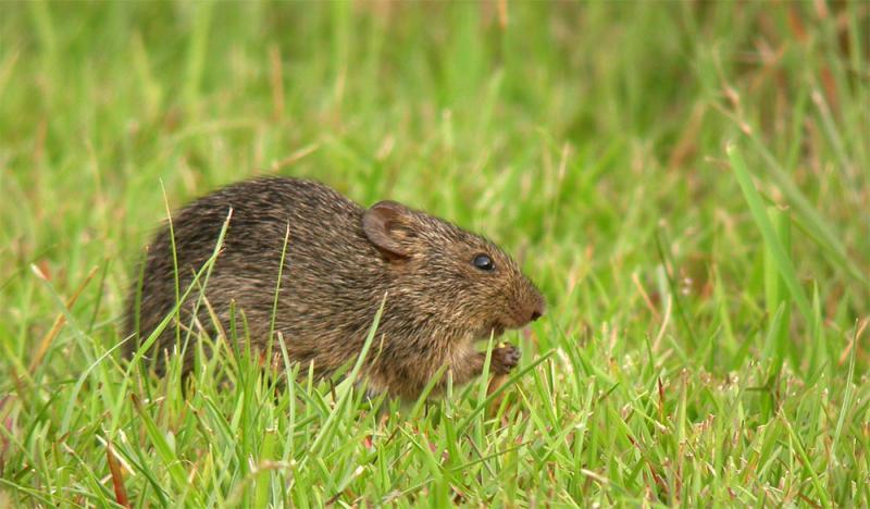 Hispid Cotton Rat | Sigmodon hispidus photo