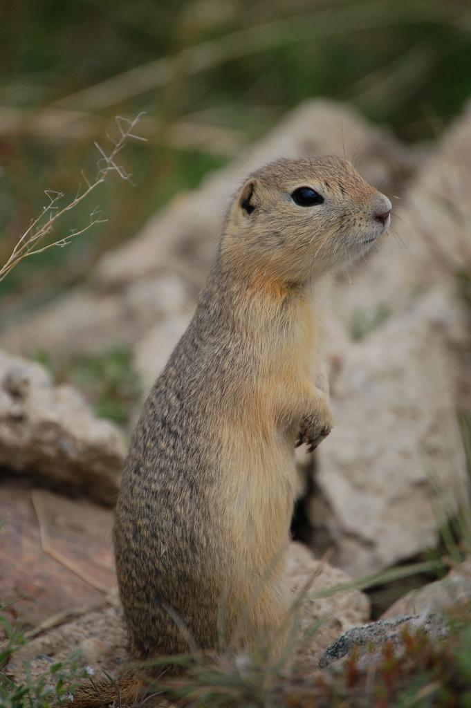 Richardson's Ground Squirrel | Spermophilus richardsonii photo