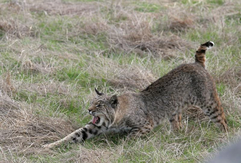Bobcat   Lynx rufus photo
