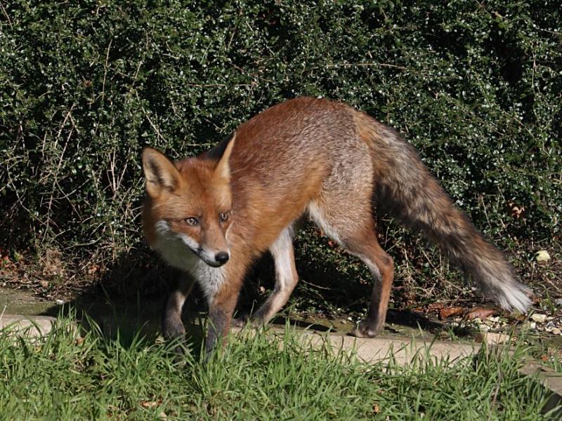 Red Fox | Vulpes vulpes photo