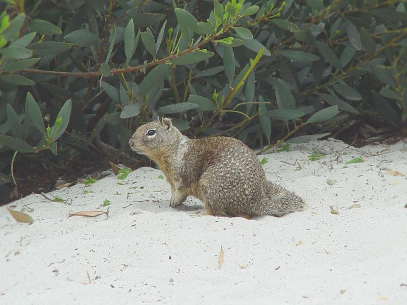 California Ground Squirrel | Spermophilus beecheyi photo
