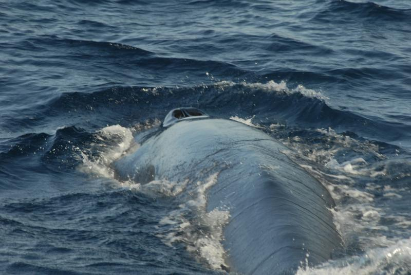 Bryde's Whale | Balaenoptera edeni photo