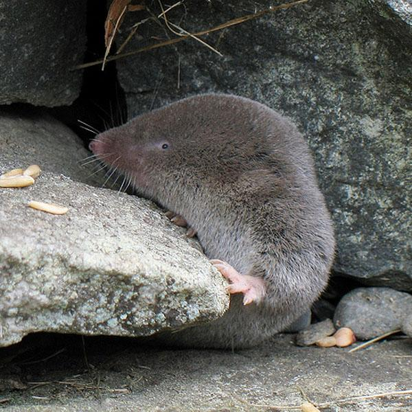 Northern Short-tailed Shrew | Blarina brevicauda photo