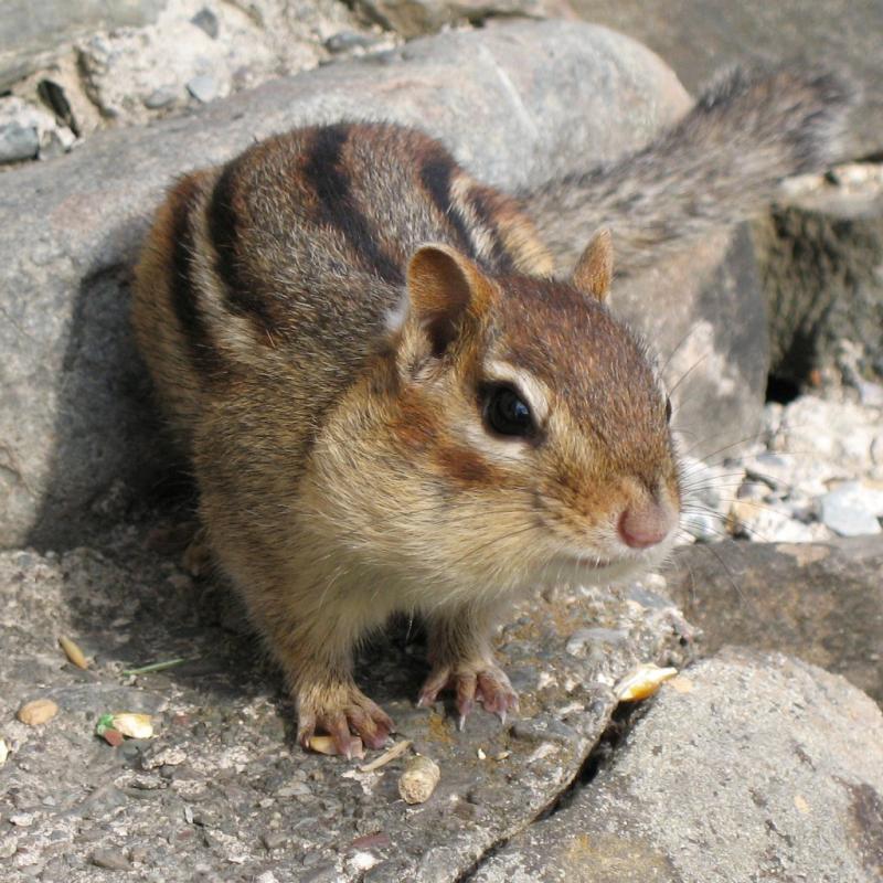 Eastern Chipmunk | Tamias striatus photo