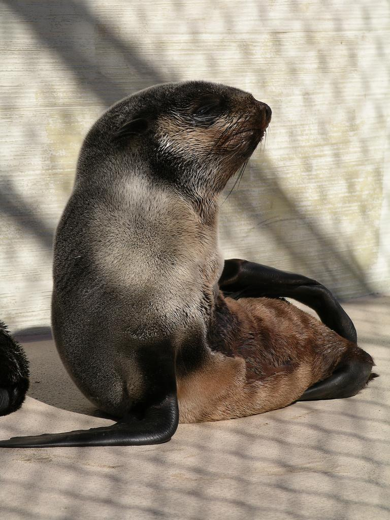 Northern Fur Seal   Callorhinus ursinus photo