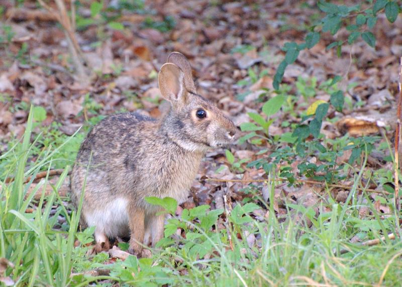 Swamp Rabbit | Sylvilagus aquaticus photo