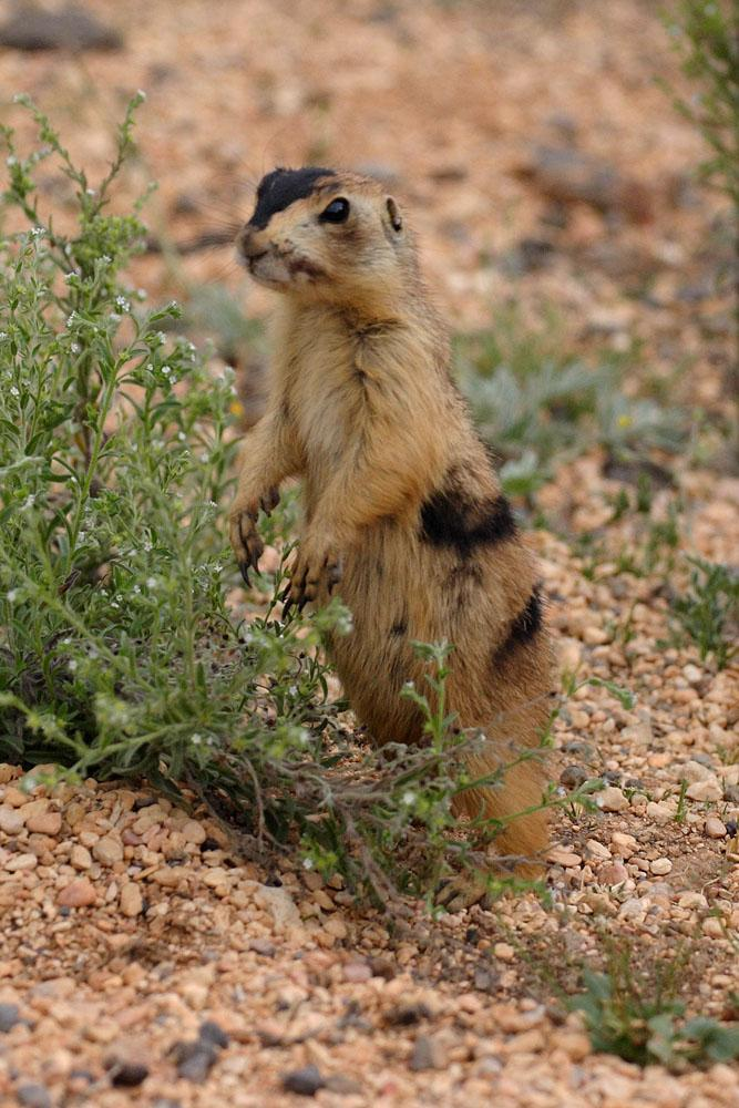 Utah Prairie Dog | Cynomys parvidens photo