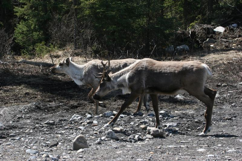 Caribou | Rangifer tarandus photo