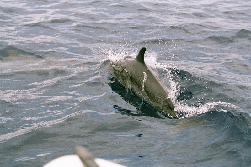 Pantropical Spotted Dolphin | Stenella attenuata photo