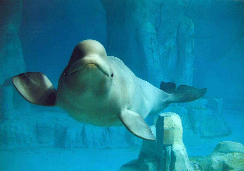 Beluga | Delphinapterus leucas photo