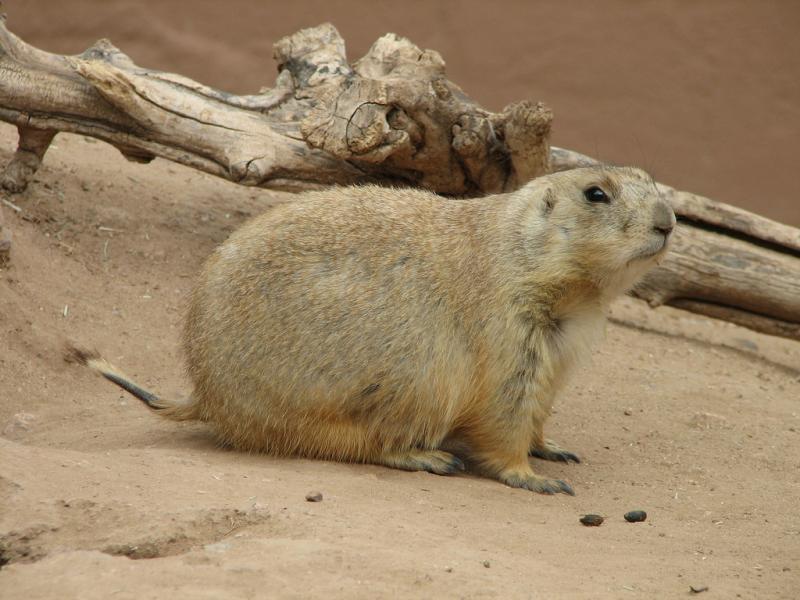Black-tailed Prairie Dog | Cynomys ludovicianus photo