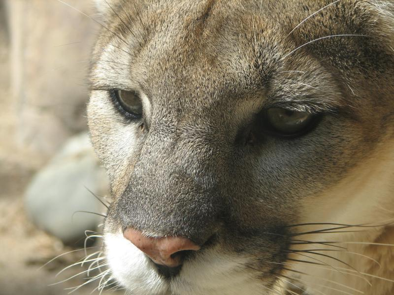 Cougar | Puma concolor photo