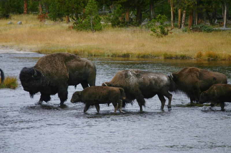 American Bison | Bison bison photo