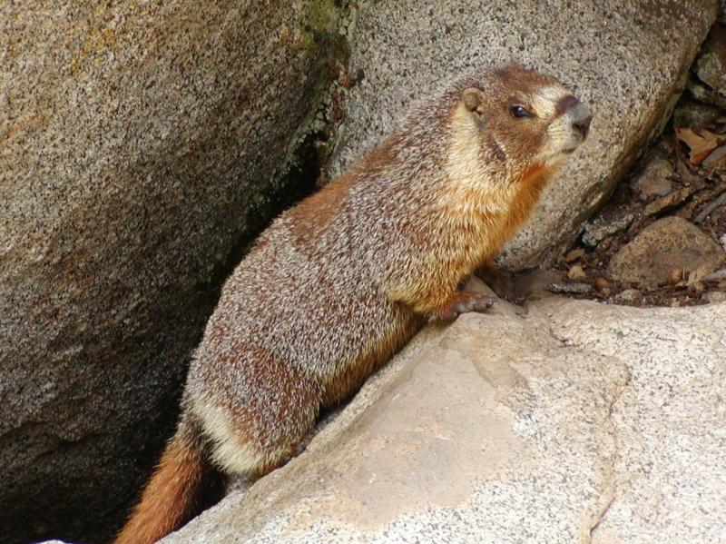 Yellow-bellied Marmot | Marmota flaviventris photo