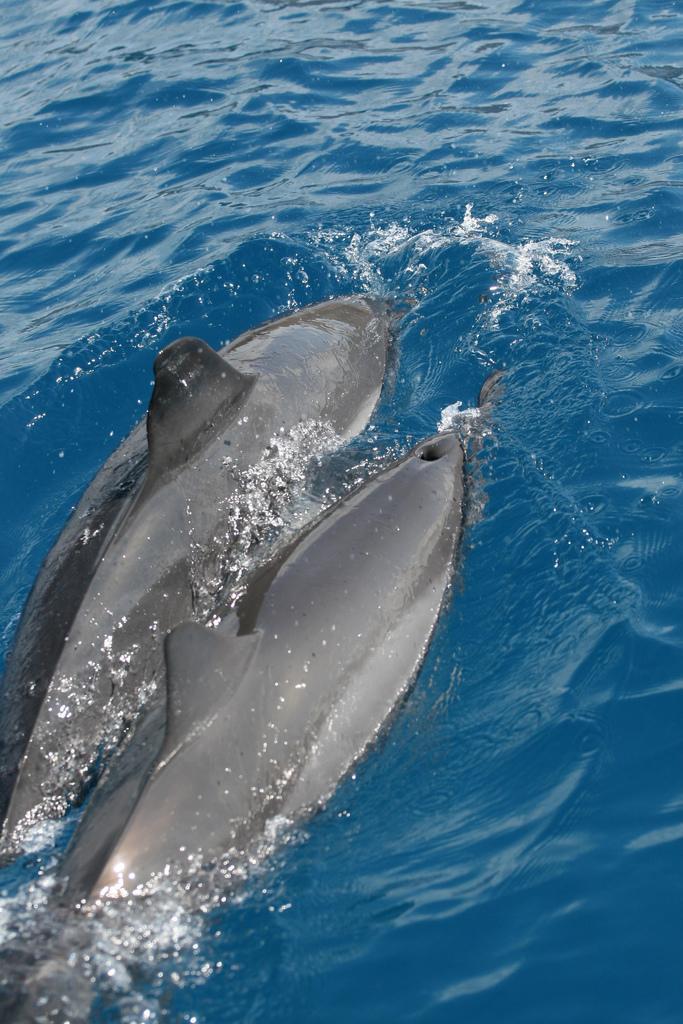 Spinner Dolphin | Stenella longirostris photo