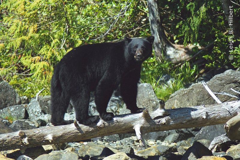 American Black Bear | Ursus americanus photo