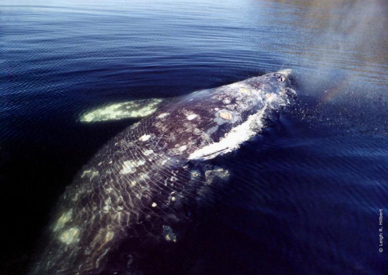 Gray Whale | Eschrichtius robustus photo