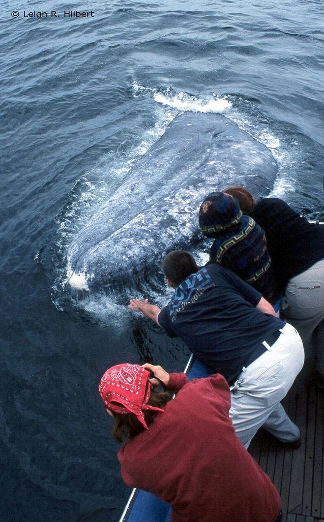 Gray Whale   Eschrichtius robustus photo