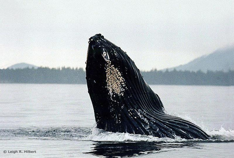 Humpback Whale | Megaptera novaeangliae photo