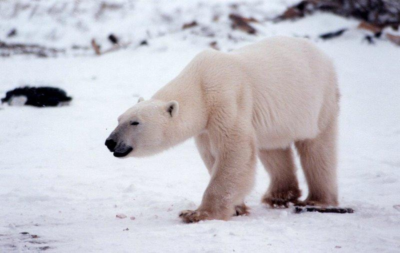 Polar Bear | Ursus maritimus photo