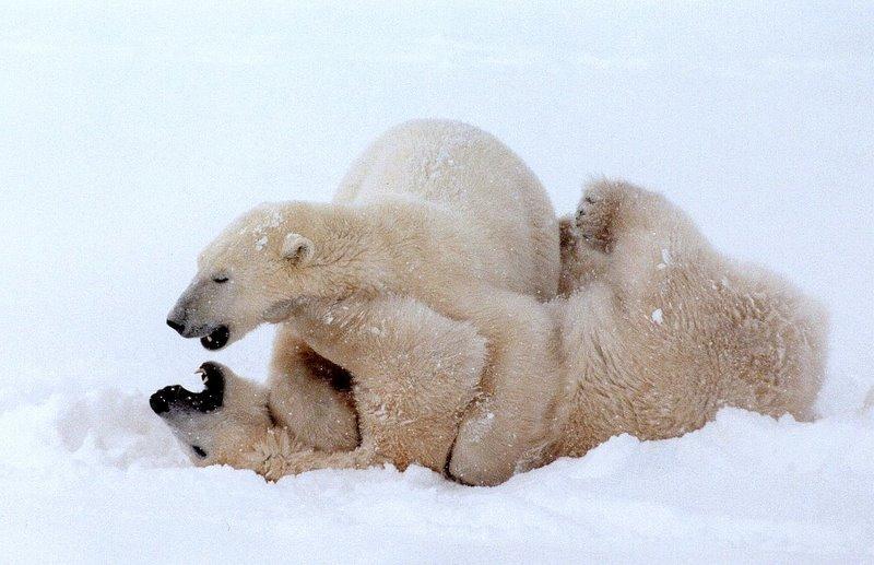Polar Bear   Ursus maritimus photo