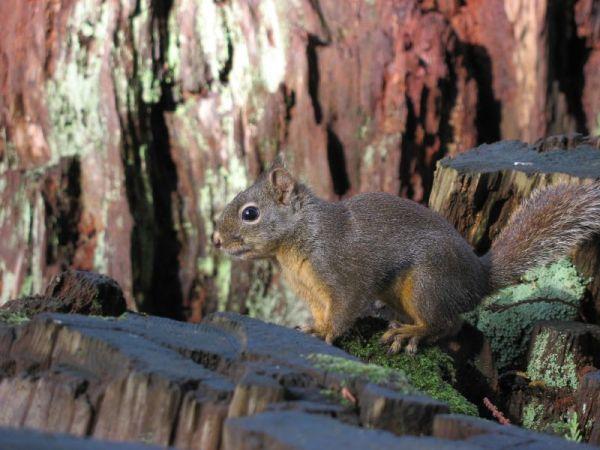 Douglas' Squirrel | Tamiasciurus douglasii photo