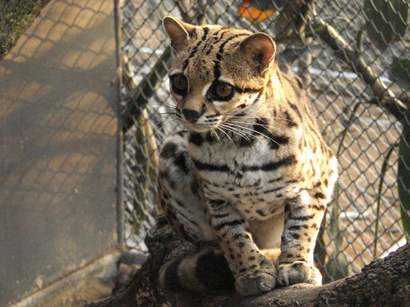 Margay | Leopardus weidii photo