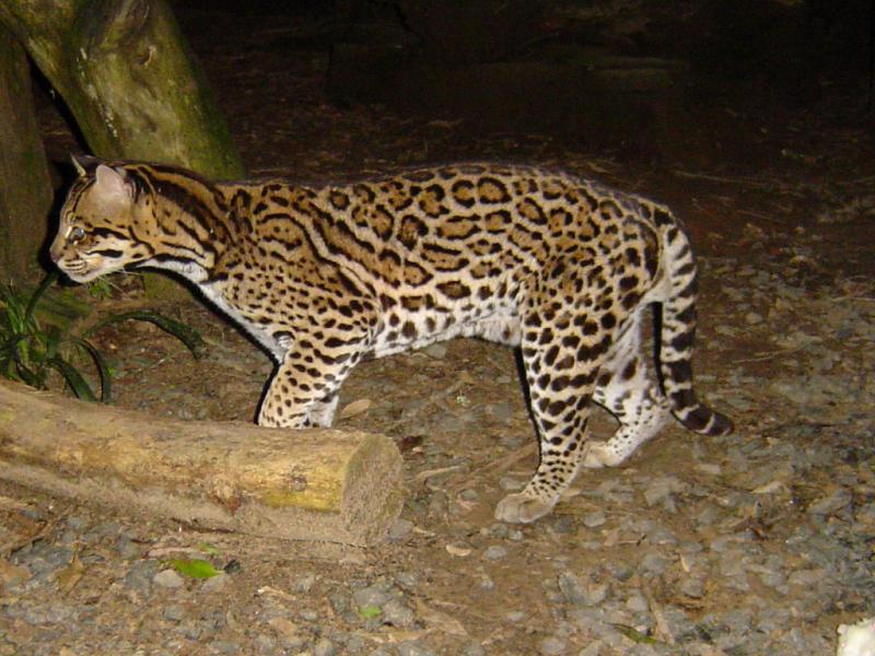 Ocelot | Leopardus pardalis photo