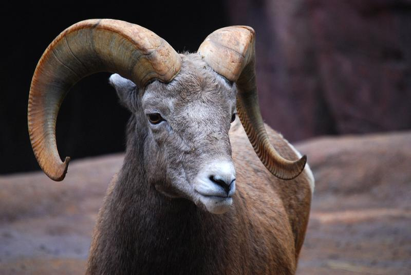 Bighorn Sheep | Ovis canadensis photo