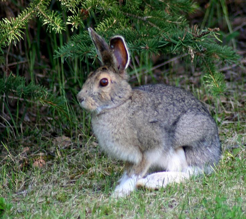 Snowshoe Hare | Lepus americanus photo