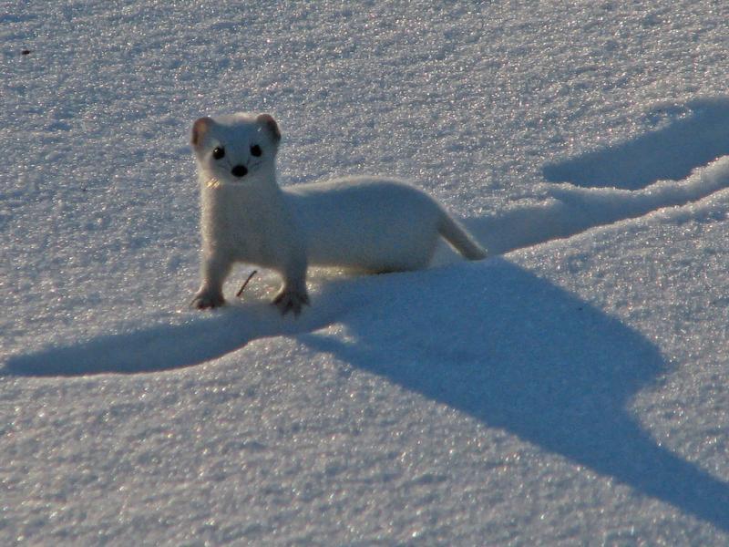 Least Weasel   Mustela nivalis photo