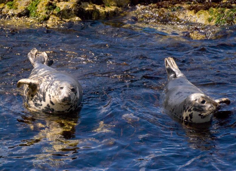 Gray Seal | Halichoerus grypus photo