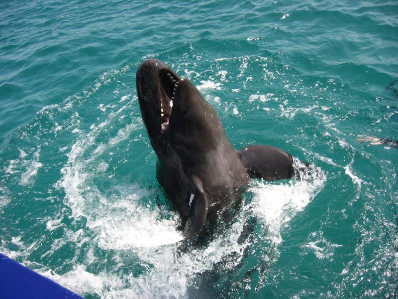 False Killer Whale   Pseudorca crassidens photo