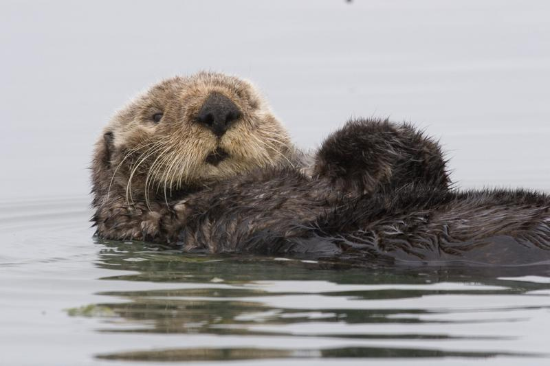 Sea Otter | Enhydra lutris photo